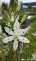 Camassia leichtlinii \'Alba\'