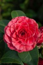 Camellia  hybride \' Black Lace \', arbuste persistant au feuillage vert et aux fleurs imbriquées rouge foncé.