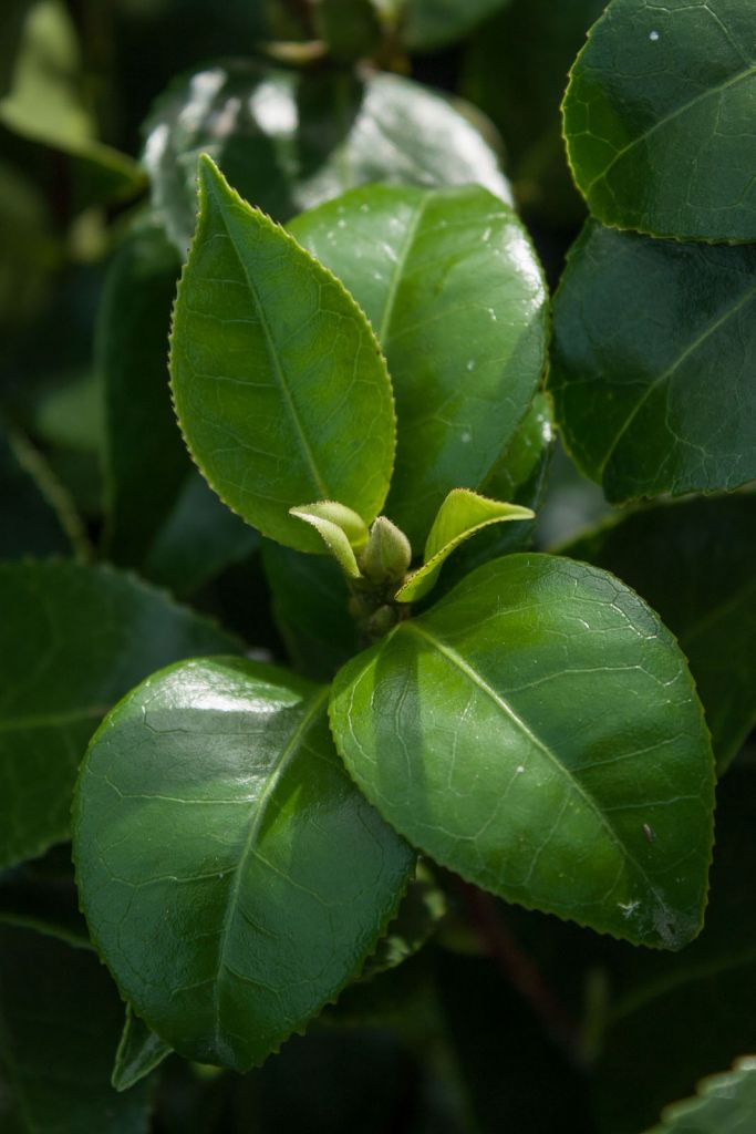 Camellia  hybride \' Black Lace \'