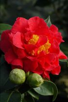 Camellia* japonica \'Blood of China\'