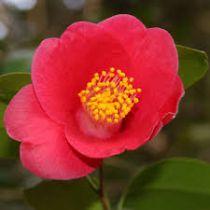 Camellia* japonica \'Docteur King\'