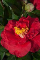 Camellia* japonica \'Dr Burnside\'