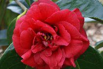 Camellia* japonica \'Grand Slam\'