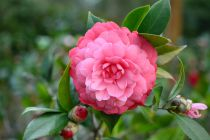 Camellia* japonica \'Jeronimo da Costa\' ¤