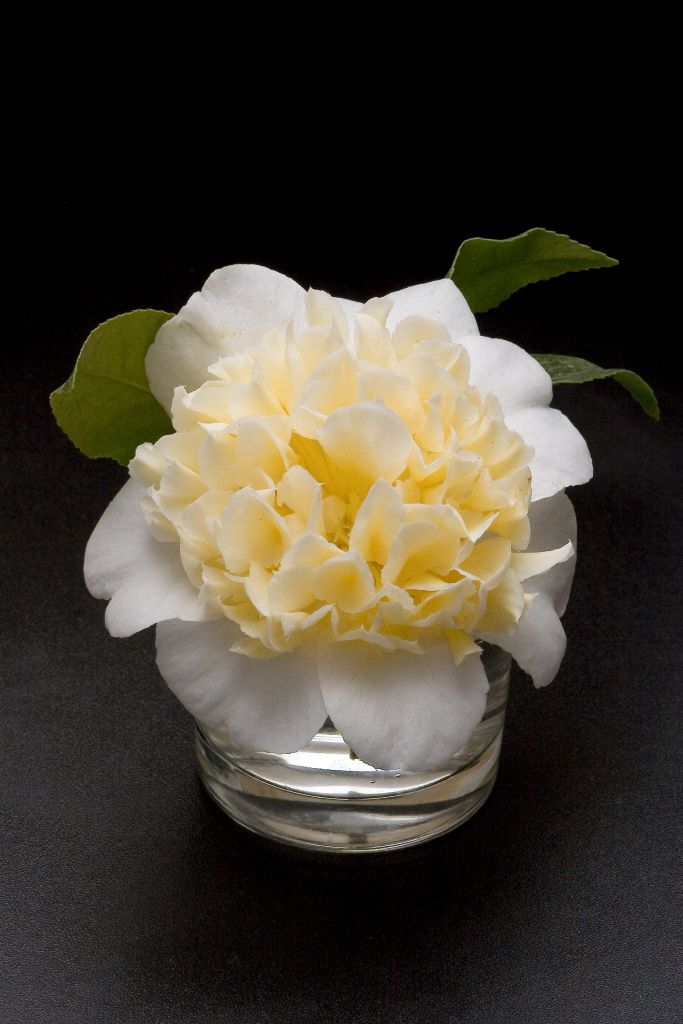 Camellia* japonica \'Jury\'s Yellow\'