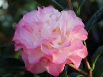 Camellia* japonica \'Nuccio\'s Jewel\'