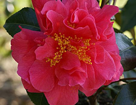 Camellia* japonica \'Souvenir de Hubert Thoby\'