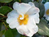 Camellia* sasanqua \'Cleopatra White\'