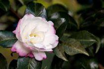 Camellia* sasanqua \'Hime Botan\'