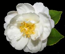 Camellia* sasanqua \'Narcissiflora\'