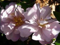 Camellia* sasanqua \'Pink Lassie\'