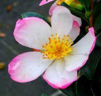 Camellia* sasanqua \'Rainbow\'