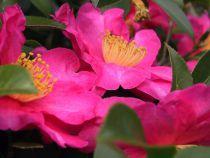 Camellia* sasanqua \'Vicomte de Noailles\'