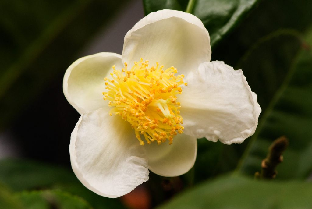 Camellia* sinensis