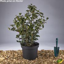 Camellia bicolore ¤