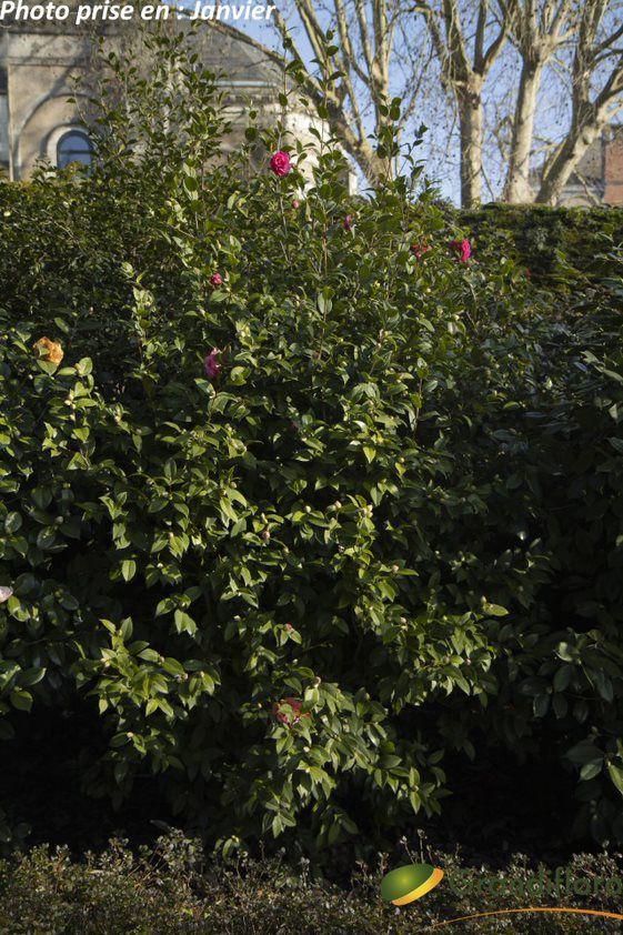 Camellia hybride \'Debbie\' ¤
