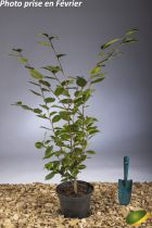 Camellia hybride \'High Fragrance\'