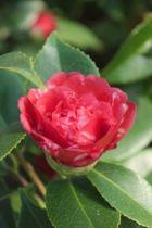 Camellia japonica  \' Daikagura \'