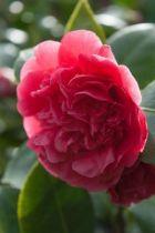 Camellia japonica  \' Dona Herzilia De Freita Magalhaes \', arbuste persistant vert aux fleurs de pivoines rose violet en hiver.