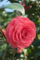 Camellia japonica \' Broggi \'