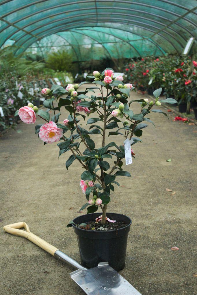 Camellia japonica \' Comtesse Lavinia Maggi \'