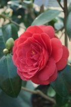 Camellia japonica \' Coquetti \'