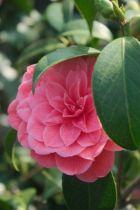 Camellia japonica \' Don Juan \'