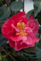 Camellia japonica \' Guilio Nuccio \', arbuste à feuillage persistant vert à fleurs rose corail aux étamines jaunes en hiver.