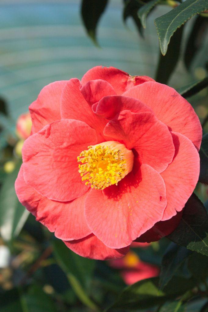 Camellia japonica \' Guilio Nuccio \'
