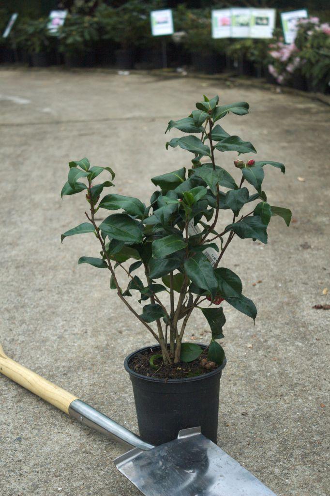 Camellia japonica \' Laetitia Schrader \'