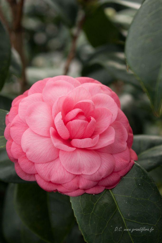 Camellia japonica \' Mme Louis Von Houtte \'