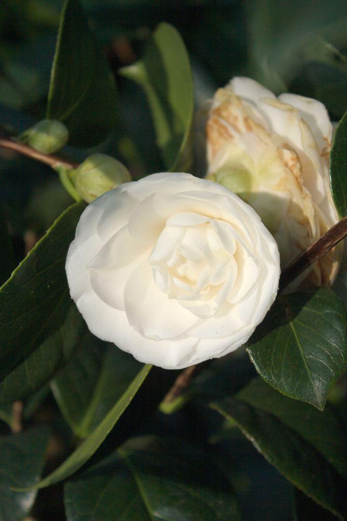 Camellia japonica \' Montblanc \'
