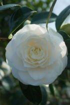 Camellia japonica \' Montblanc \', arbuste persistant vert aux fleurs imbriquées blanches en hiver.