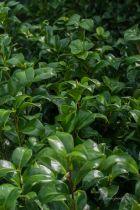 Camellia japonica \' Princesse Bacciochi \', arbuste persistant vert aux fleurs doubles rouge foncé en hiver.