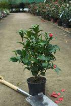 Camellia japonica \' Princesse Bachiochi \'