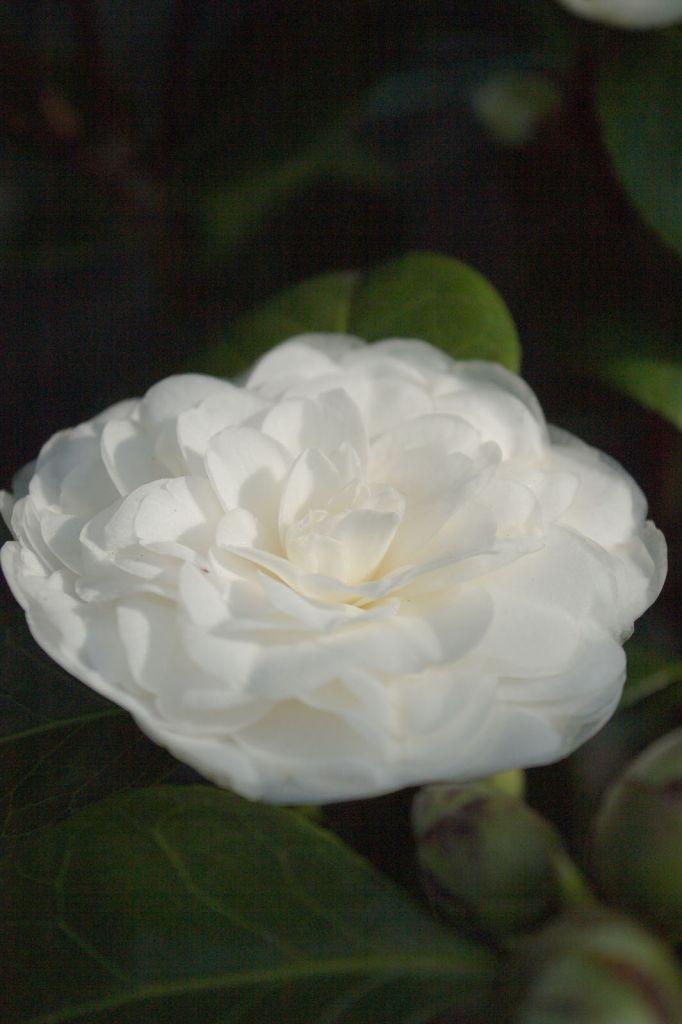 Camellia japonica \' Supreza De Jose Marques Louliero, arbuste persistant vert aux fleurs blanches doubles en hiver.