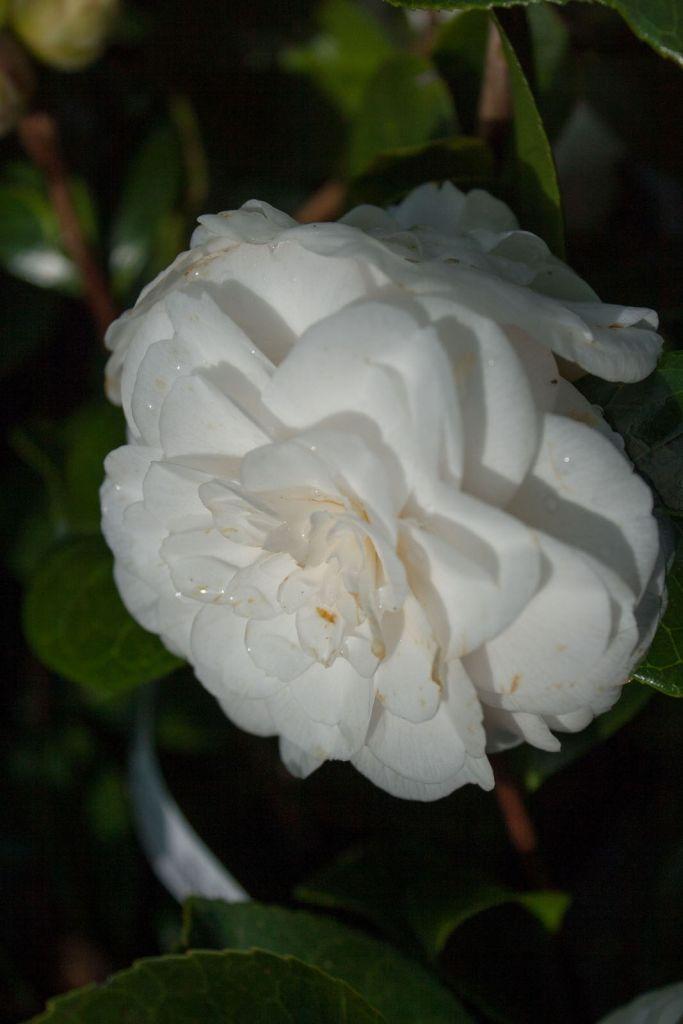 Camellia japonica \' Supreza De Jose Marques Louliero