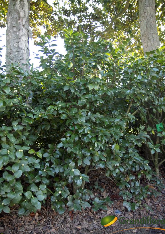 Camellia japonica \'Comtesse Lavinia Maggi\' ¤