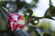 Camellia japonica \'Daikagura\' ¤