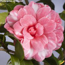 Camellia japonica \'Don Joao IV\' ¤