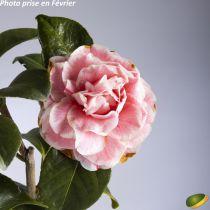 Camellia japonica \'Madame Ambroise Verschaffelt\' ¤