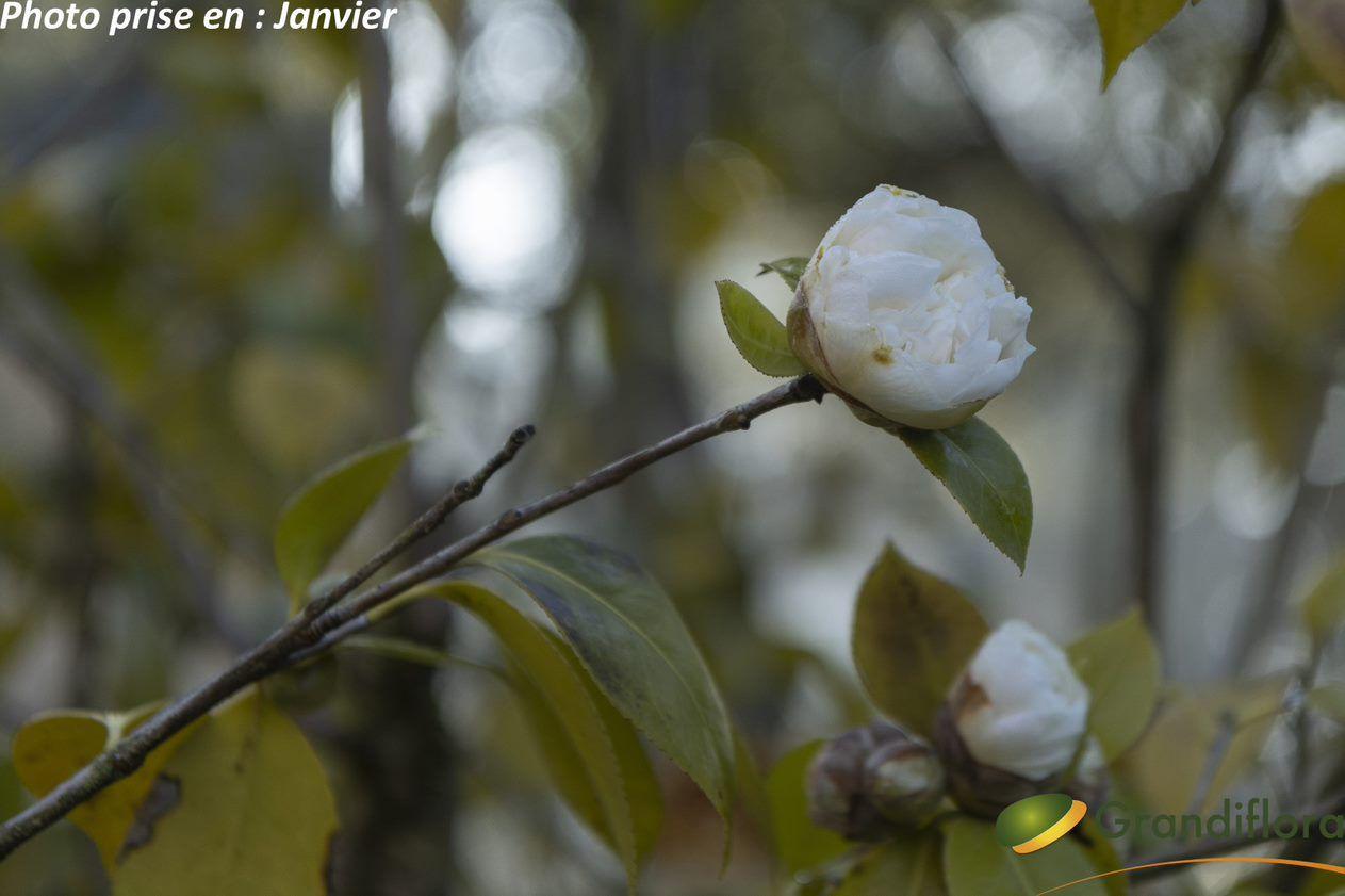 Camellia japonica \'Montblanc\' ¤