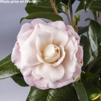 Camellia japonica \'Nuccio\'s Cameo\' ¤