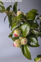 Camellia japonica \'Souvenir de Hubert Thoby\' ¤