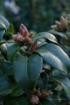 Camellia sasanqua \' Cherilyn \'