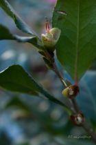 Camellia sasanqua \' Cleopatra \'