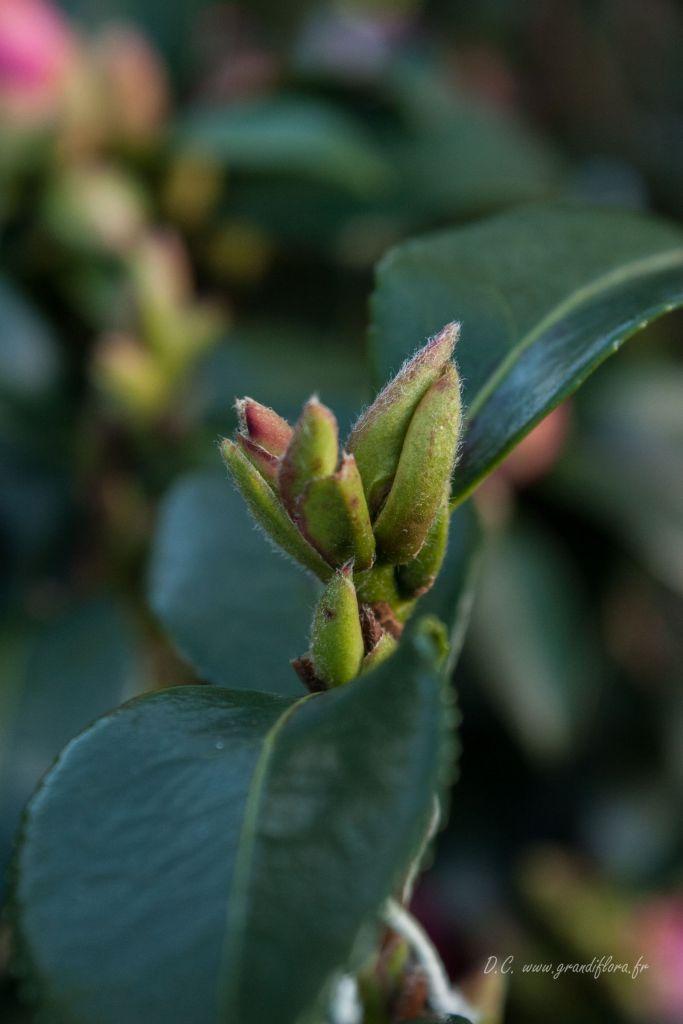 Camellia sasanqua \' Isoli \'