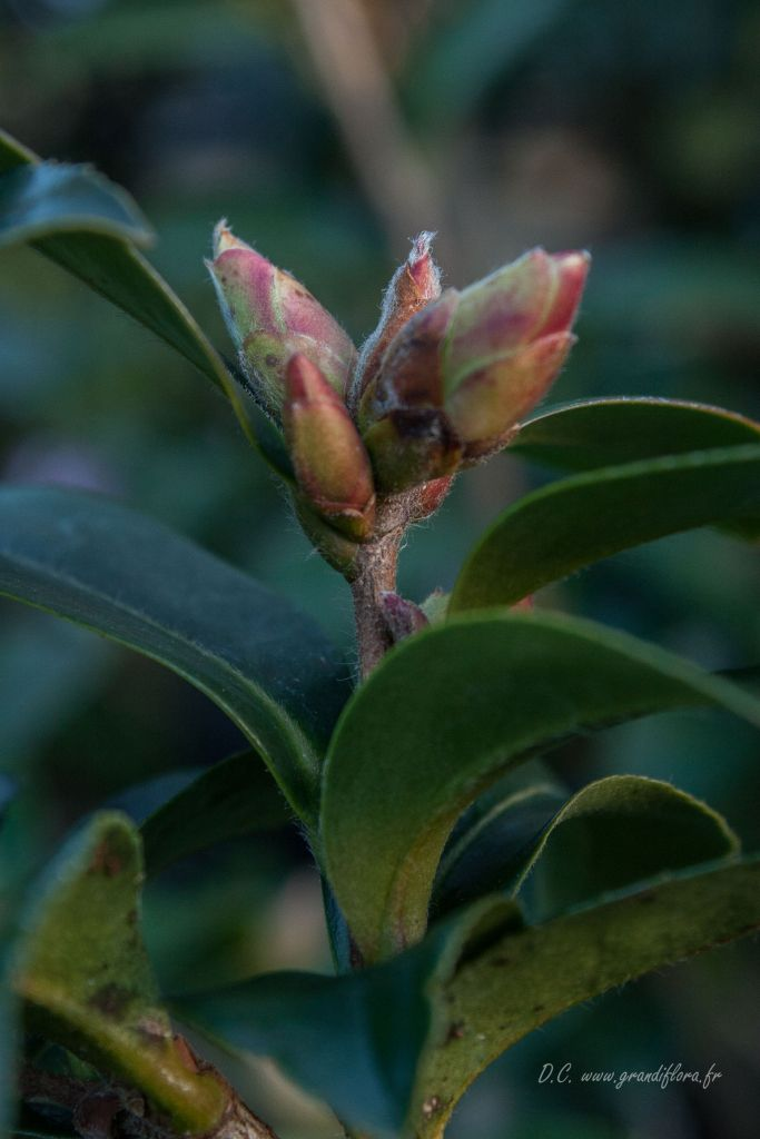 Camellia sasanqua \' Kanjiro \'