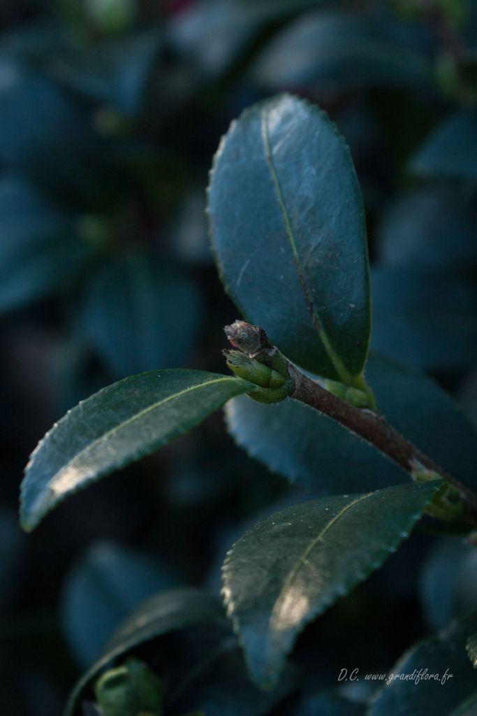Camellia sasanqua \' Yuletide \'