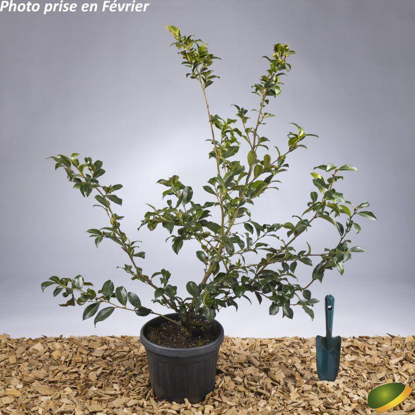 Camellia sasanqua \'Cherilyn\' ¤